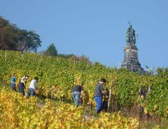 Rüdesheim Weinlese unterm Niederwalddenkmal