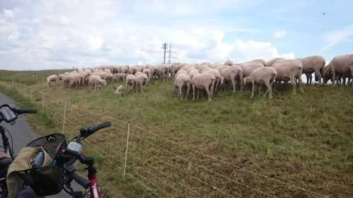 Torgau nackige Schafe