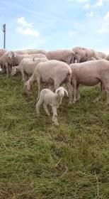 Torgau Schafe
