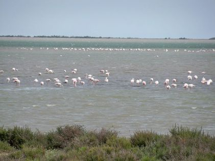 Salin de Giraud Flamingos