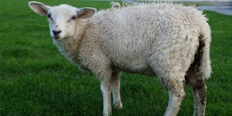 Nordstrand Schaf